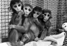 Harlows Monkey Study