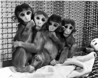 Photo of Harlow's Surrogate Study on Monkeys – Food or Security?